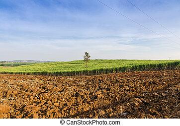 champ, ferme, exotique, canne sucre, agriculture, paysage