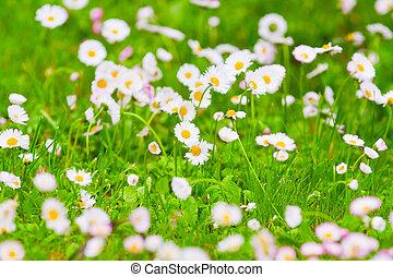 champ, fleur, pâquerettes
