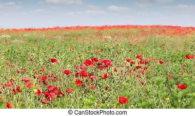 champ, fleur, paysage, coquelicots