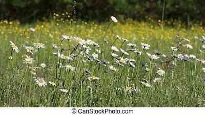 champ, fleur, printemps, pâquerette, marguerite