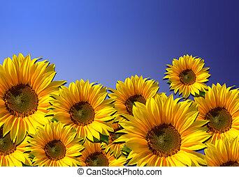 champ, fleur, -, tournesol, fond