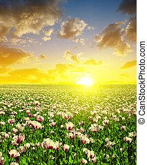 champ, fleurir, coucher soleil, pavot, sky.