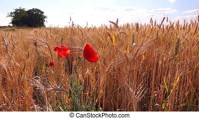 champ, fleurs, blé, coquelicots