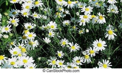 champ, fleurs, camomille