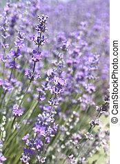 champ, fleurs, closeup, lavande