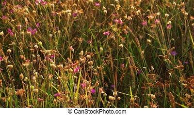 champ, fleurs, en mouvement, vent, violet