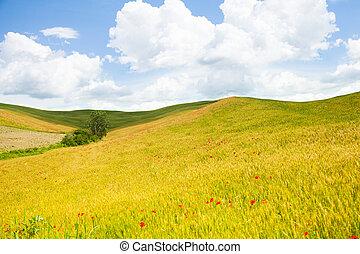 champ, fleurs, italie, coquelicots