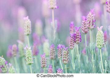 champ, fleurs, lavande, violet