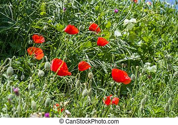 champ, fleurs, pavot rouge