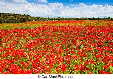champ, fleurs, pavot, rouges, france