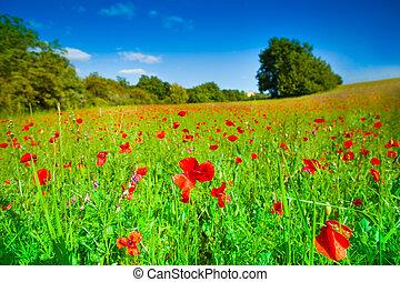 champ, fleurs, rouge vert