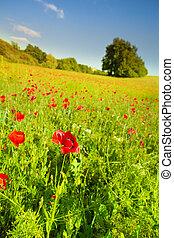 champ, fleurs, rouge vert, pavot
