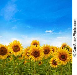 champ, fleurs, tournesols