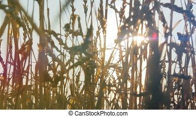 champ, grain, coucher soleil