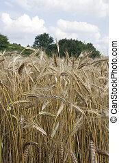 champ, grain, détail