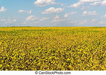 champ, haricot, jour ensoleillé, jaune