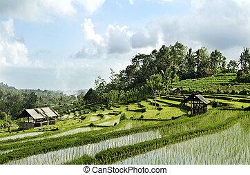 champ, indonésie, paysage, bali, riz