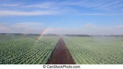 champ, irrigation, arrosage, choux, système