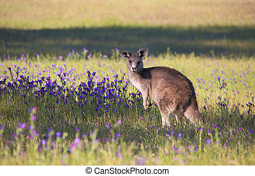 champ, kangourou, fleurir, bushland