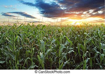 champ, maïs
