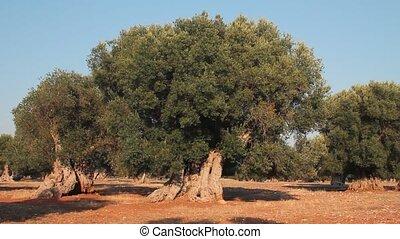 champ, olive, arbres