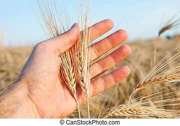champ, oreilles, blé, au-dessus, main
