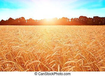 champ, oreilles, blé, coucher soleil, pendant