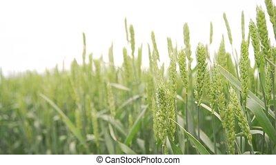 champ, oreilles, blé, vert, printemps