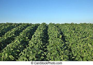 champ, plante, agriculture, graine soja