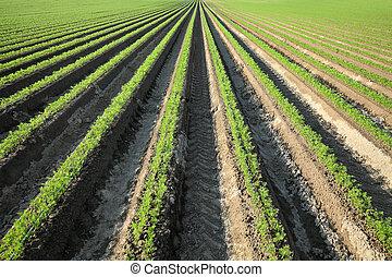 champ, plante, carotte, agriculture