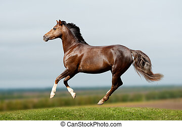 champ, poney, galoper
