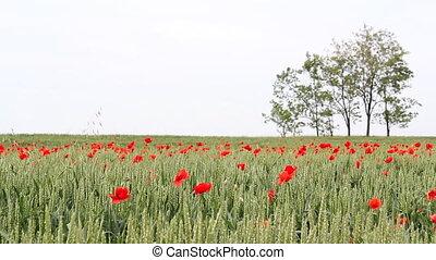 champ, printemps, blé, vert, scène