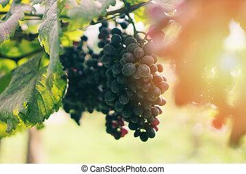 champ, récolte, soleil, vigne, vignobles, organique, été, ...