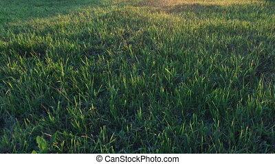 champ, rayons, pelucheux, herbe verte, coucher soleil, doré