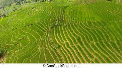 champ riz, land., terrasse, montagne, agriculture