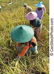 champ, riz, ouvrier