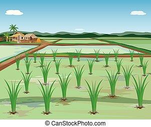 champ riz, vecteur, paddy, plante, conception