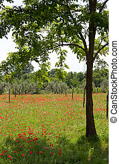 champ, rouge vert, coquelicots