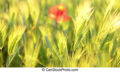 champ, rouge vert, pavot