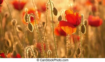 champ, rouges, coquelicots