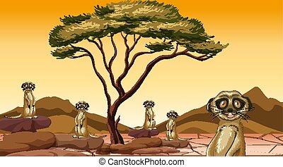 champ, scène, meerkats