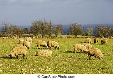 champ, sheeps, angleterre