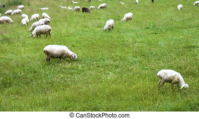 champ, sheeps, groupe, vert