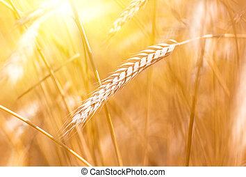 champ, spica, blé, coucher soleil, pendant