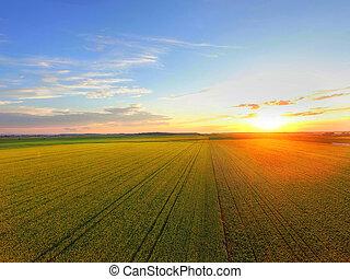 champ, sur, coucher soleil, canola