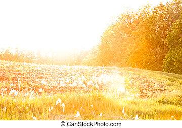 champ, sur, coucher soleil