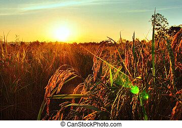 champ, sur, riz, coucher soleil