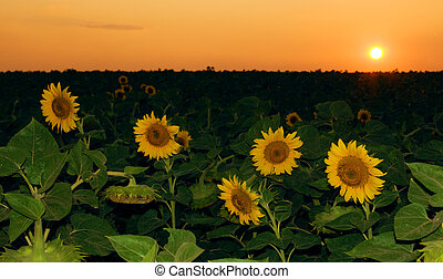 champ tournesol, dans, les, coucher soleil