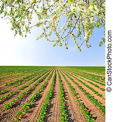 champ tournesol