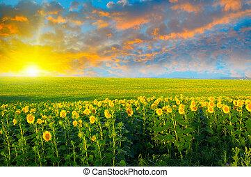 champ, tournesols, levers de soleil